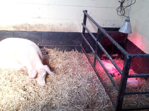 The Sow with her piglets